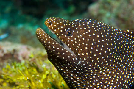 The whitemouth moray {Gymnothorax meleagris} is easily distinguished from other moray eels by its white mouth and distinctive spots.