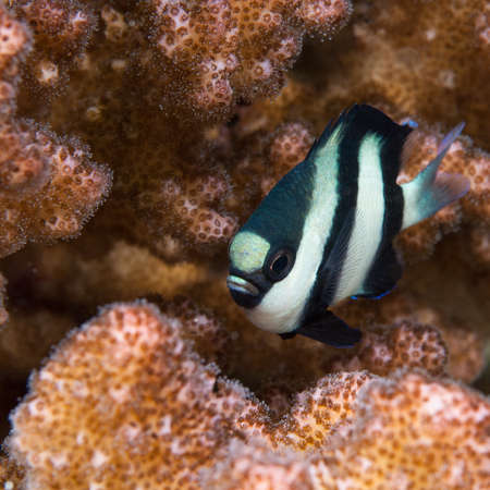 hard coral: Whitetail Dascyllus {Dascyllus aruanus} in Sudan. Shown here amongst hard coral on the Shaab Rumi reef (Cousteau Village) in Sudan