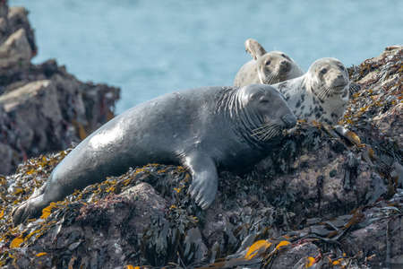 A grey seal [Halichoerus grypus] with two pups off the Skomer island, basking in sunshine, Pembrokeshire. September