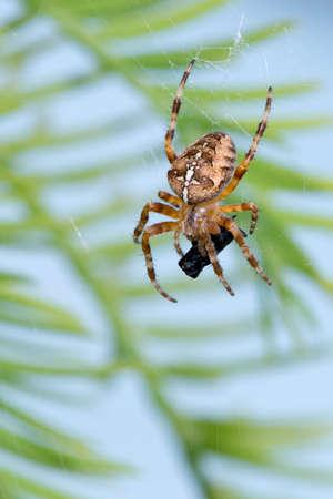 European garden spider {Araneus diadematus} in Halesworth. June