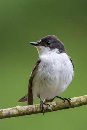 brecon beacons: This pied flycatcher {Ficedula hypoleuca} was looking for its mate in betweeen catching mayflies over the Usk river in the Brecon Beacons. May