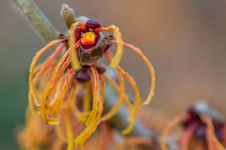 Winter Gardens can be very colourful with trees like Hamemelis (Witch Hazel) flowering.