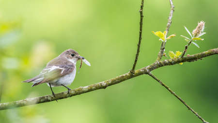 brecon beacons: This female pied flycatcher {Ficedula hypoleuca} was catching stoneflies to feed its family. Perched on a willow tree over the Usk river in the Brecon Beacons. May Stock Photo