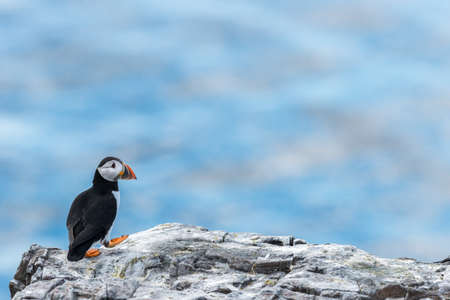 seabird: Puffins breed in the Farne Islands each summer. This one was taking a solitary walk. Northumberland, May Stock Photo
