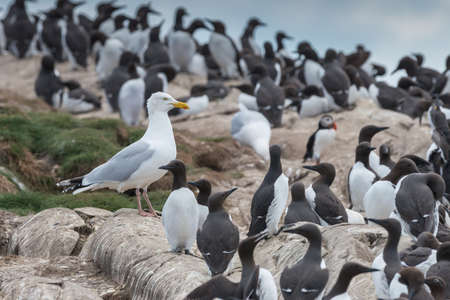 arctica: A herring gull {Larus argentatus} standing amongst a colony of guillemots {Uria aalge}, with a solitary puffin {Fratercula arctica} in the background. Gulls are well known for opportunistic predation of birds eggs and young chicks. Farne Islands, Northum