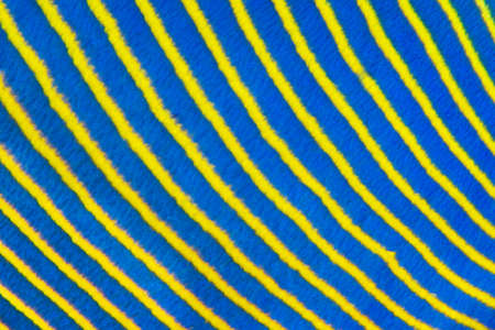 diagonal stripes: Close up abstract pattern of the blue and yellow stripes on the side of an Emperor angelfish (Pomacanthus imperator) in the Red Sea, Egypt, November Stock Photo