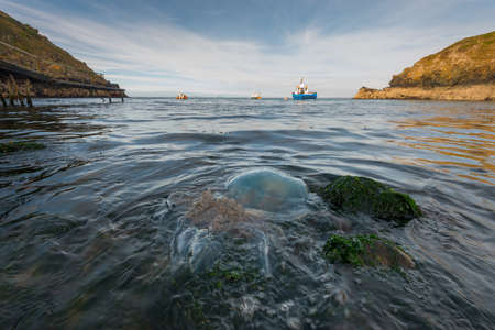 skomer: A 60cm diameter barrel jellyfish [Rhizostoma octopus] stranded in Pembrokeshire. September. The ferry to Skomer island, the Dale Princess can be seen in the background. Barrel jellyfish are normally pelagic (free-swimming in the deep ocean), but occasiona