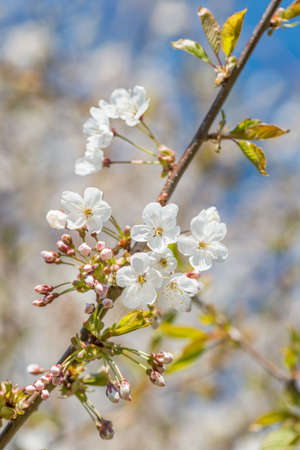 brecon beacons: Native wild cherry tree blossoming in Spring, against a blurred flower background. Brecon Beacons, April. Stock Photo