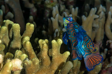 branching coral: Mandarinfish {Synchiropus splendidus}  emerge from branching coral to perform a mating ritual every evening at dusk. Philippines, November