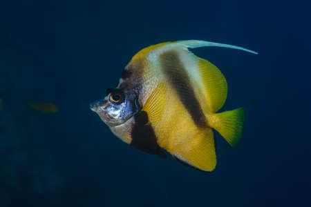 chaetodontidae: Side-on identification profile of one Red Sea bannerfish (Heniochus intermedius)