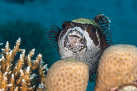 arothron: Masked pufferfish (Arothron diadematus)  head-on portrait, swimming over coral reef. Close-up macro. Red Sea, Egypt, November. Stock Photo