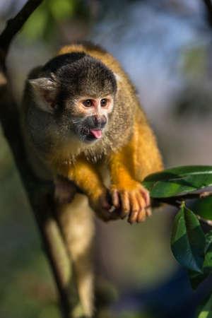 lengua afuera: Bolivia mono ardilla negro con tapón presenta con la lengua fuera. Reino Unido, cautivo. Foto de archivo