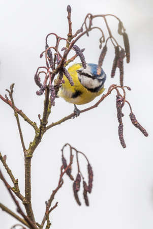 catkins: Blue tit (Cyanistes caeruleus) on Alder tree (Alnus glutinosa) with catkins in Spring. Brecon Beacons, March