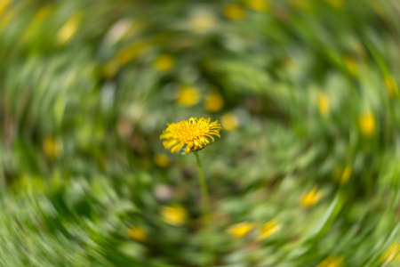 brecon beacons: Motion blur abstract of a dandelion in the Spring. Brecon Beacons, April Stock Photo