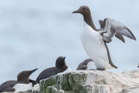 primaries: Guillemot {Uria aalge} spreading wings on a cliff ledge in the Farne Islands, Northumberland. Some small insects are flying in front of it. May