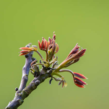 Signs of Spring. Tree leaves and buds opening against a clean green background. North Devon. April