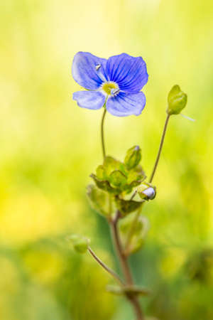 plantaginaceae: Speedwell flower against a pastel green blurred background. Brecon Beacons, April