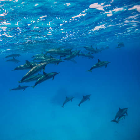 A pod of spinner dolphins {Stenella longirostris} in the Fury Shoals. Access to these areas is restricted, and the boat drivers are highly skilled in order to cause minimum disturbance to the dolphins. Red Sea. June