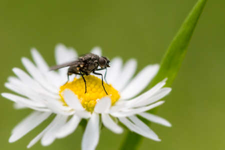anthers: Fly perched on top of the anthers of a single daisy flower with blade of grass behind. North Devon, July