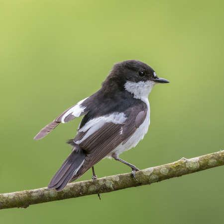 brecon beacons: This pied flycatcher {Ficedula hypoleuca} was resting on a willow tree, between catching mayflies over the Usk river in the Brecon Beacons. May Stock Photo