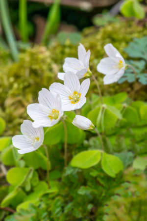 brecon beacons: Wild wood sorrel (Oxalis acetosella) flowers in Springtime, in the Brecon Beacons National Park, Wales. April Stock Photo