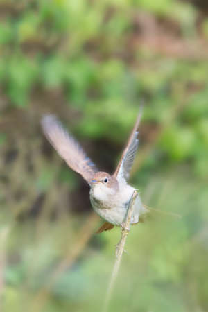 Nightingale (Luscinia megarhynchos) with wings in motion, about to fly towards camera. Pulborough Brooks nature reserve, April.