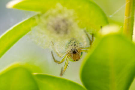 brecon beacons: Female Cucumber orb web spider (Araniella cucurbitina) upside down on her nest. Brecon Beacons, Wales, UK.