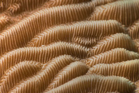 stony coral: Closeup detail of (Pachyseris rugosa), a coral reef species with clear ridges and valleys. Textured pattern. Egypt, Red Sea.