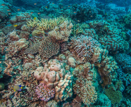 stony coral: Reef building corals are essential to the formation of a healthy biodiverse environment of a coral reef. Red Sea. June Stock Photo