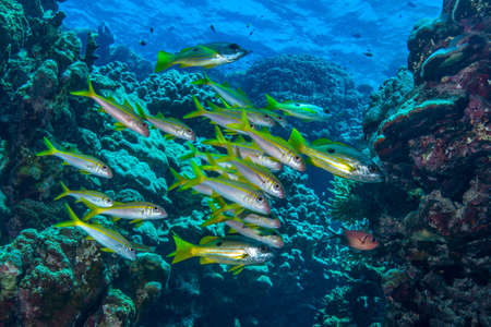 exhibiting: A shoal of yellowfin goatfish {Mulloidichthys vanicolensis} The fish with dark spots are Ehrenberg's snapper {Lutjanus ehrenbergi}, exhibiting a form of aggressive mimicry, whereby the goatfish 'camouflage' them allowing the snapper to get clo