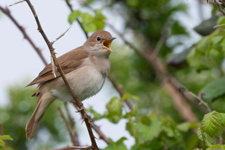 Nightingale (Luscinia megarhynchos) singing in a thorny thicket in Pulborough Brooks nature reserve, April Stock Photo
