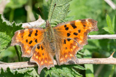 brecon beacons: Comma butterflies (Polygonia c-album) come out and spread their wings in the warm Spring sunshine. Brecon Beacons. April
