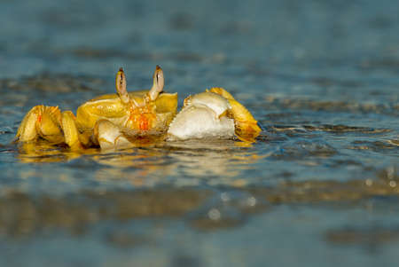 Red Sea Ghost Crab {Ocypode saratan}. Distinguished from the common ghost crab by the horns at the tip of the eyes. Commonly found on beaches in the Red Sea, just above the high water mark. June. Stock Photo