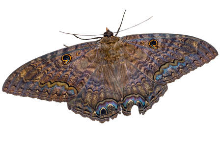 The black witch moth {Ascalapha odorata} is known as the harbinger of death in central America. This large moth appears black in normal light, but a flash really brings out the bright colours. Bahamas, November Stock Photo