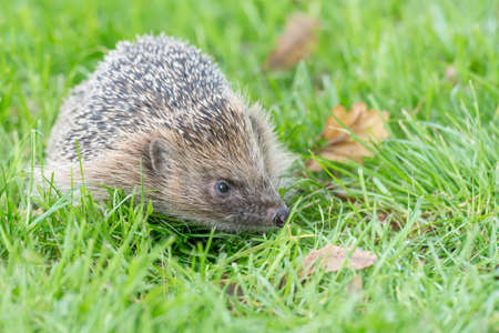 Hedgehog (Erinaceus europaeus) on grass in Autumn. Hedgehogs are often found on mown grass in gardens. Photographed in controlled conditions.