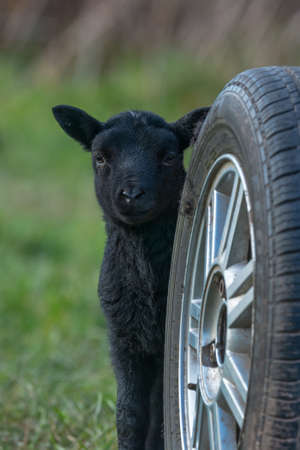 brecon beacons: Black lamb in Springtime hiding behind a vehicle wheel. Llangynidr, Wales. March Editorial
