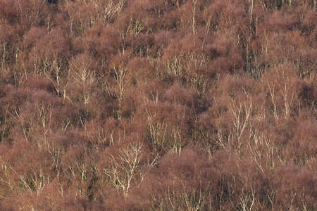 brecon beacons: Silver birch (Betula pendula) deciduous forest canopy from above in Winter. Brecon Beacons, Wales. February Stock Photo