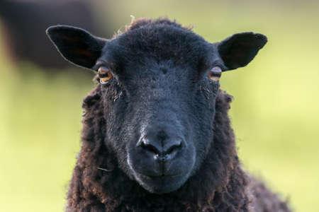 Volto di pecora pecora nera guardando direttamente la fotocamera in primavera. Brecon Beacons, Galles, marzo