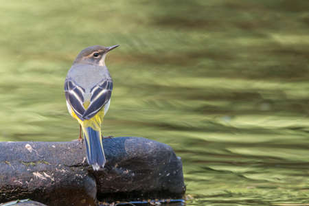 brecon beacons: Grey wagtail [Motacilla cinerea] on the Usk river. The trees on the far bank give a pleasing reflection on the water in early Autumn. Brecon Beacons, September Stock Photo