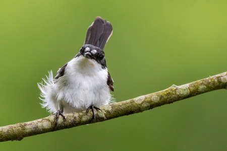 brecon beacons: This pied flycatcher {Ficedula hypoleuca} was catching mayflies over the Usk river in the Brecon Beacons. May