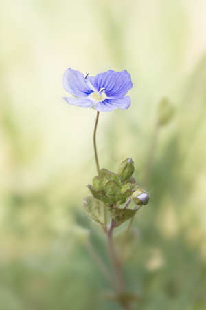 plantaginaceae: Speedwell (Veronica germander) flower against a pastel green blurred background. Brecon Beacons, April