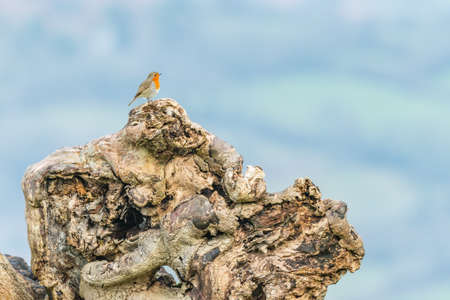 fallen tree: A robin (Erithacus rubecula) standing on the roots of a fallen tree in the Brecon Beacons. February