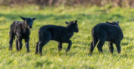 brecon beacons: Three black lambs playing in a field in Springtime. Brecon Beacons. March