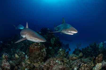 Near Eleuthra in the Bahamas, there are opportunities to get very close to Caribbean Reef Sharks. December Stock Photo