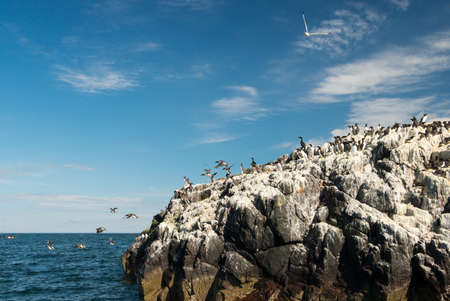 Guillemots {Uria aalge} and shags {Phalacrocorax aristotelis} on cliffs in the Farne Islands. A gull flies overhead, and some of the guillemots are in , Northumberland. May