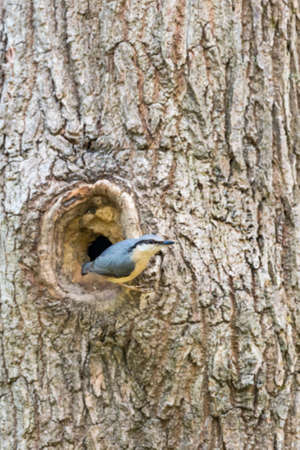invading: Nuthatches (Sitta europaea) build nests with mud in trees to protect from invading predators. Sussex, UK. April