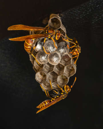Paper wasps tending to the larvae in their nest, against a black background. Guesthouse balcony in the Bahamas. December Stock Photo