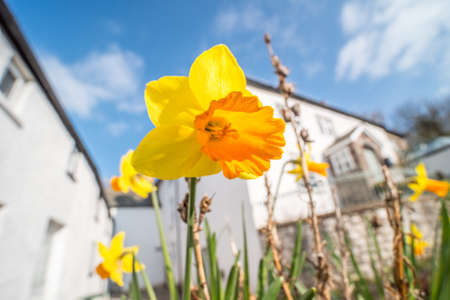 brecon beacons: Daffodil (Narcissus) flowers blooming in front of a white house on a sunny day in Spring. Brecon Beacons, Wales. March
