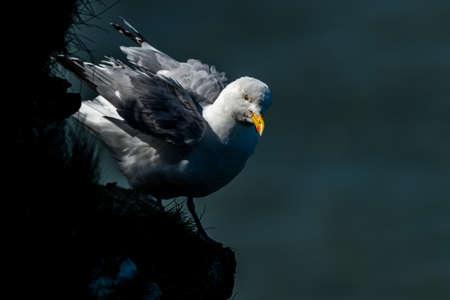 Herring Gull {Larus argentatus} standing on a cliff ruffling its feathers. Bempton Cliffs, UK. May Stock Photo