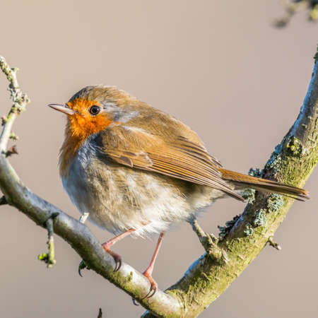 brecon beacons: Robin {Erithacus rubecula} perching near the Talybont Reservoir in the Brecon Beacons in Winter. January.